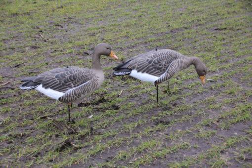 Enforcer Full Bodied Greylag Goose Decoys